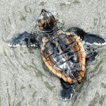 """We must understand that everything is connected in nature, even us... The evidence points to plastics ingestion as a major source of mortality in post-hatchling sea turtles."""