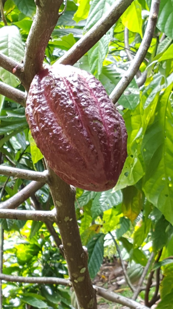 A cacao fruit.