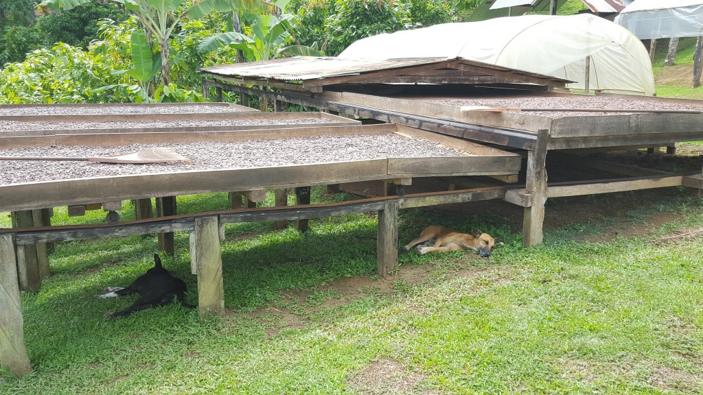 Platforms of drying cacao beans.